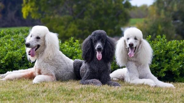 Три больших пуделя