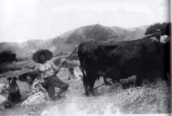 Канарский дог помогает перегонять быков