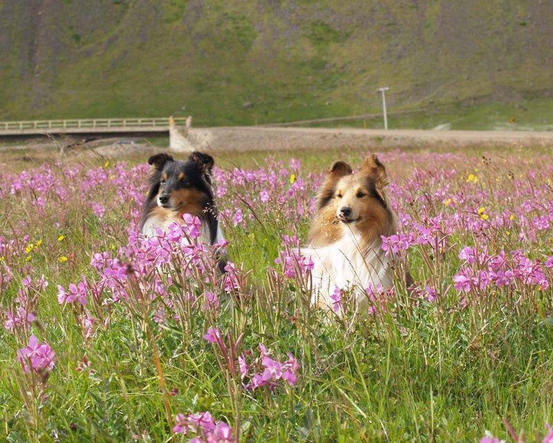 Шетландские овчарки в цветах