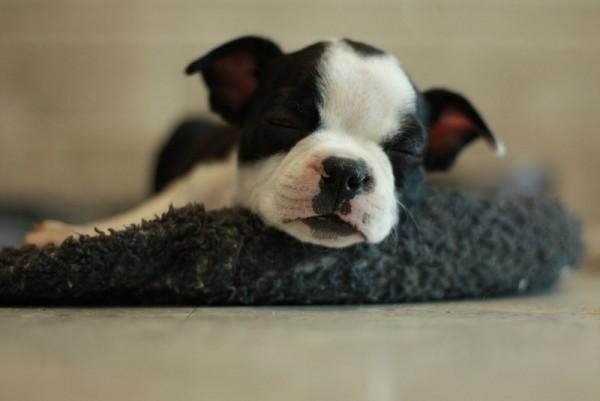 Спящий щенок бостон-терьера