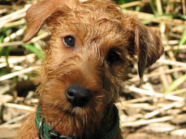 Ирландский терьер щенок