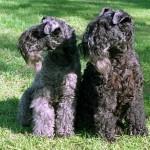 Две собаки породы Kerry Blue Terrier