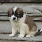Московская сторожевая щенок