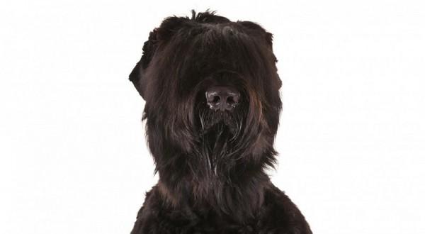 Портрет черного терьера