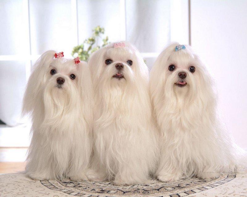 Три Мальтезе