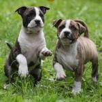 Два щенка Щенок Американского стаффордширского терьера