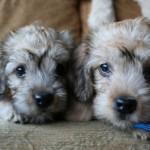 Два щенка Денди-динмонт терьера