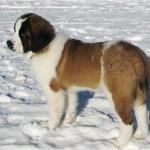 Московская сторожевая щенок зимой