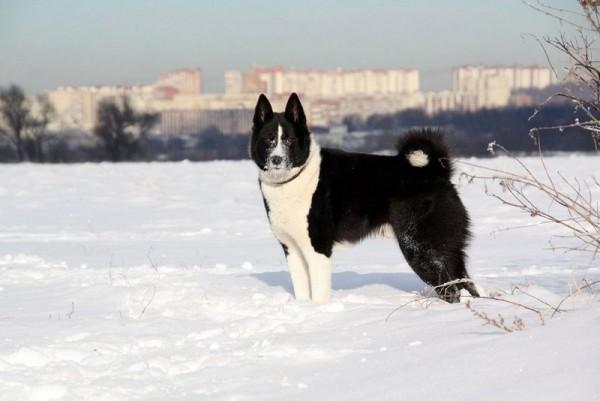 Русско-европейская лайка зимой