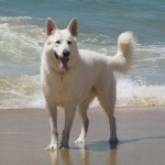 Белая швейцарская овчарка на пляже