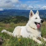 Белая швейцарская овчарка в горах