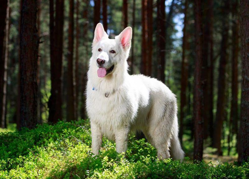 Белая швейцарская овчарка  описание породы характер
