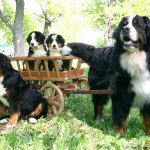 Бернский зенненхунд и его щенки в повозке