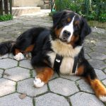 Бернский зенненхунд отдыхает во дворе
