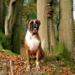 Немецкий боксер среди деревьев
