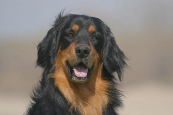 Портрет собаки породы Ховаварт
