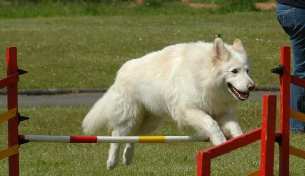 Белая швейцарская овчарка на тренировочной площадке