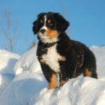 Щенок Бернского зенненхунда в снегу