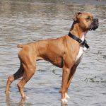 Немецкий боксер у воды