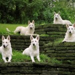 Белые швейцарские овчарки