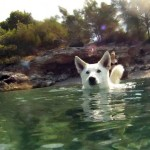 Белая швейцарская овчарка плывет
