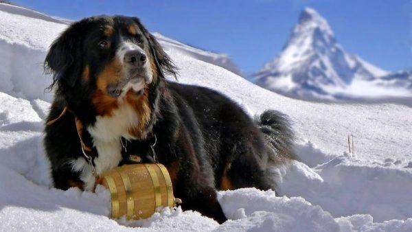 Бернский зенненхунд лежит на снегу с бочонком