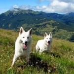 Две Белые швейцарские овчарки в горах