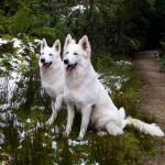 Две Белые швейцарские овчарки