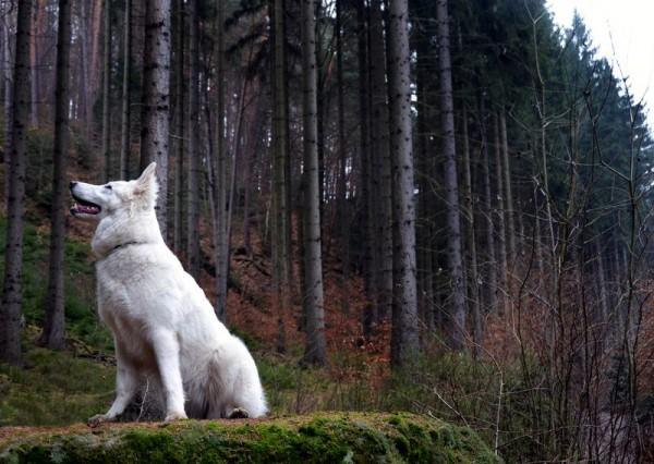 Белая швейцарская овчарка в лесу