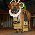 Тоса-ину в традиционном костюме для боев на ринге