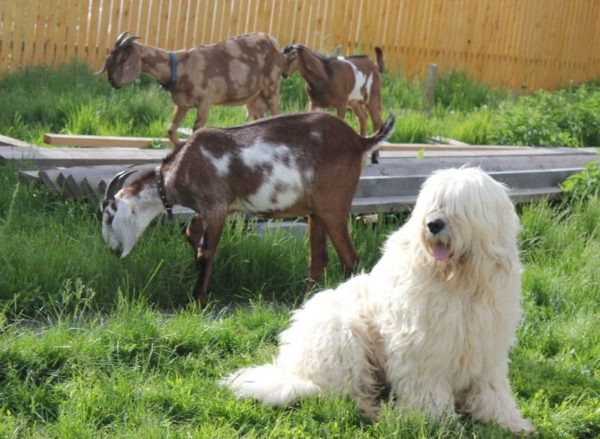 Южнорусская овчарка и козы