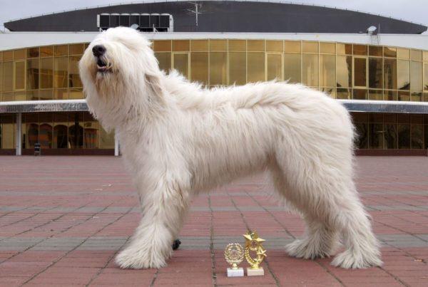 Южнорусская овчарка с наградами