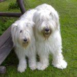 Две Южнорусские овчарки