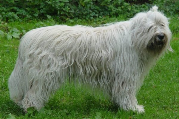 Южнорусская овчарка на природе