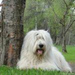 Южнорусская овчарка лежит у дерева