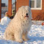 Южнорусская овчарка зимой во дворе