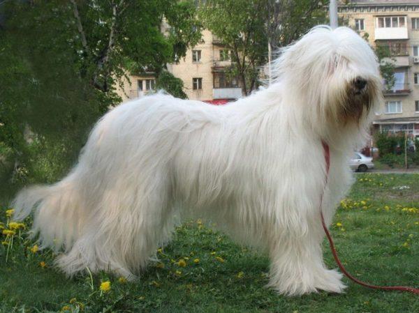 Южнорусская овчарка