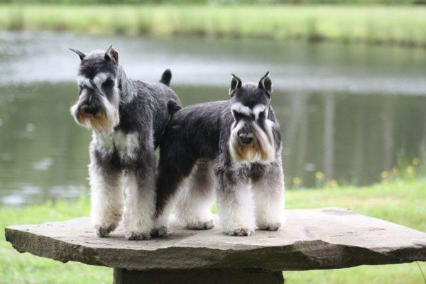 Два Цвергшнауцера