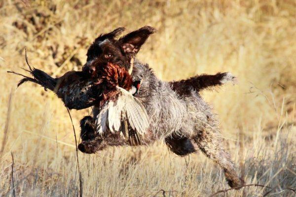 Английский спрингер-спаниель несет добычу во время охоты