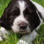 Английский спрингер-спаниель щенок