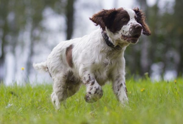 English Springer Spaniel Puppies amp Trained Dogs  banincom