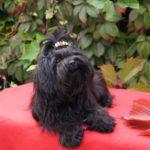 Русская цветная болонка черного цвета с бантиком лежит на красной подстилке на фоне листьев