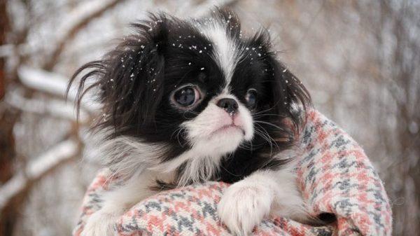 Японский хин щенок закутанный на улице зимой