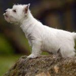 Щенок Шотландского терьера или скотч-терьера