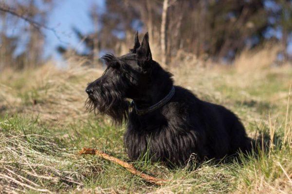 Шотландский терьер или скотч-терьер сидит в тавке