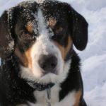 Энтлебухер зенненхунд в снегу