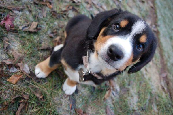 Энтлебухер зенненхунд маленький щенок