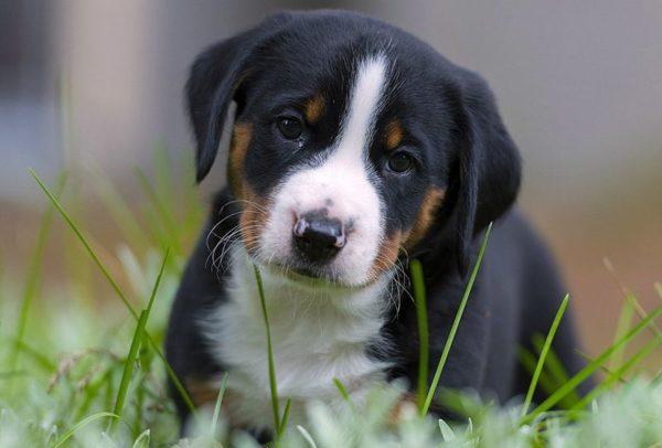 Энтлебухер зенненхунд щенок