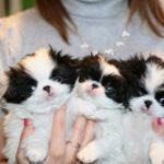Три щенка японского хина на руках
