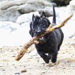 Шотландский терьер или скотч-терьер бежит с палкой